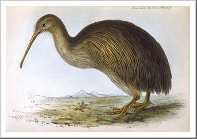 Apteryx Australis by J.e.Gould